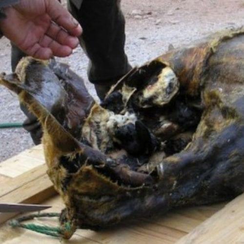 Kiviak: The Bizarre Greenland Inuit Seal Delicacy